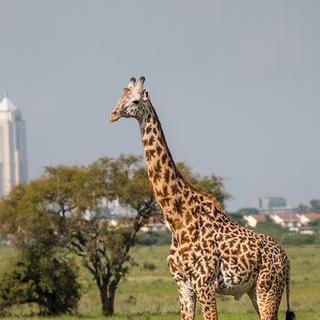 자연과 생명의 신비, '나이로비 국립공원' 투어 즐기기