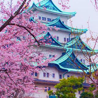 핑크빛 꽃비 내리는 '나고야성' 사진 찍기