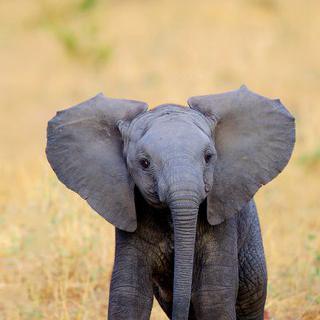 케냐의 상처 입은 코끼리 쉼터에서 아기 코끼리 돌보기