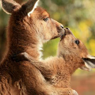 카르카손의 작은 호주, 'Australian Park'에서 캥거루 보기