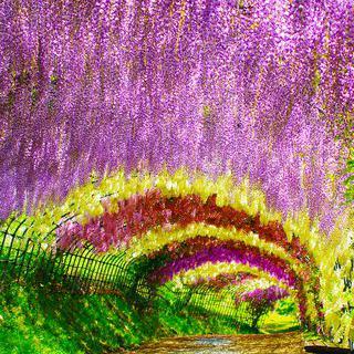 땅 위에 피어난 무지개, '기타큐슈'에서 등나무꽃 보기