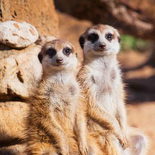 대자연 속 동물원, 'Palmitos Park'에서 미어캣 만나기