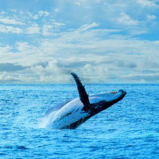 액티비티 천국의 자연 항구, 'Marina'에서 혹등고래 만나기