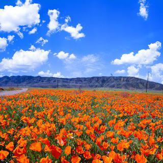 캘리포니아의 자연보호지역에서 양귀비 꽃밭 감상하기