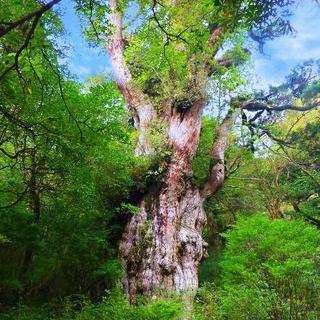 칠천 년 전의 고대 나무, '조몬 삼나무'앞에서 사진 찍기